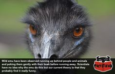 Emu Are Basically Feathery Ninjas - http://www.factfiend.com/emu-basically-feathery-ninjas/