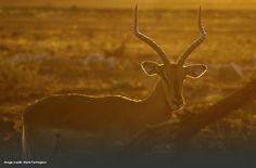 Impala by guest Mark Farrington