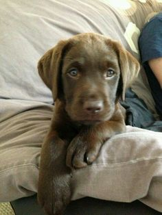 Chocolate lab puppy - I really think George needs a friend!