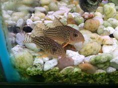 Aquarium Catfish, Home Aquarium, Cats For Sale, Beautiful Fish, Pets, Animals, Animales, Animaux, Animal