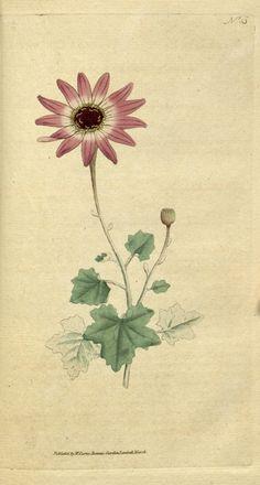 Anemone sylvestris ~ by William Curtis