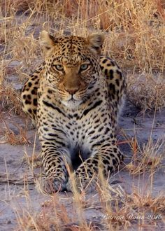 """""""Leopard Watch"""" by Patricia Rosen: This leopard was keeping his eye on a nearby impala. The impala got away!"""
