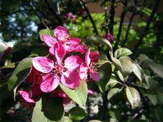 Manzano rojo (Malus x purpurea) un magnifico rubí - A este manzano de porte pequeño y delicado nos ofrece su floración rojo rubí-púrpura a mediados de primavera. Le gustan los suelos frescos y húmedos.