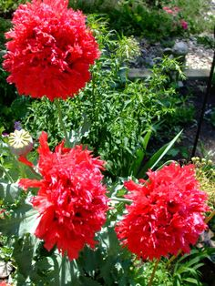 Second Silver - Shaggy Red, bread seed poppy, Papaver somniferum Spring Plants, Spring Garden, Red Bread, Shaggy, Poppy, Seeds, Flowers, Silver, Royal Icing Flowers