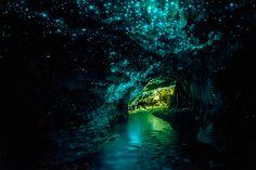 Glowworm Caves . New Zeland Arachnocampa luminosa -  espécie de mosca cuja larvas que vivem no teto das cavernas .Deitam  um fio de seda  com muco e veneno que tem bioluminescência