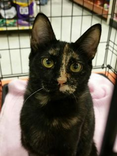 Meet Buttercup, an adoptable Tortoiseshell looking for a forever home. If you're looking for a new pet to adopt or want information on how to get involved with adoptable pets, Petfinder.com is a great resource.