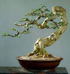 Wondering How Bonsai Trees Are Made? Bonsai Tree Care, Bonsai Tree Types, Indoor Bonsai Tree, Mini Bonsai, Bonsai Plants, Bonsai Garden, Garden Trees, Trees To Plant, Ficus
