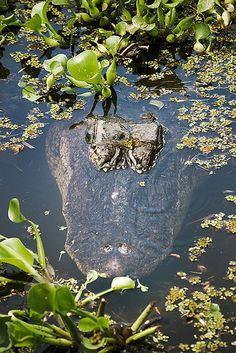 Animals Of The World, Animals And Pets, Cute Animals, Alligators, Anaconda, Sliders, Saltwater Crocodile, Crocs, Spring Nature