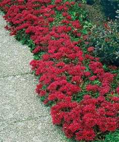 Red Creeping Sedum Plant