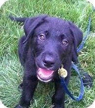 Sacramento, CA - Labrador Retriever/Border Collie Mix. Meet Flounder!, a puppy for adoption. http://www.adoptapet.com/pet/11400275-sacramento-california-labrador-retriever-mix