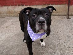 TO BE DESTROYED - 04/02/14 Brooklyn Center -P  My name is MIDNIGHT. My Animal ID # is A0994710. I am a female black and white am pit bull ter mix. The shelter thinks I am about 6 YEARS old.  I came in the shelter as a SEIZED on 03/23/2014 from NY 11220, owner surrender reason stated was OWN ARREST. I came in with Group/Litter #K14-171615. https://www.facebook.com/photo.php?fbid=777823768897171&set=a.611290788883804.1073741851.152876678058553&type=3&theater