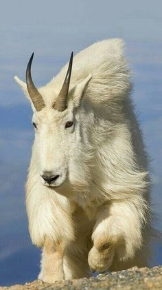 Mountain Goat ~~ wow, that hair. Makes me think my dog, Pogo, is part mountain goat. Just glad he doesn't have those horns! Nature Animals, Animals And Pets, Cute Animals, Strange Animals, Exotic Animals, Unusual Animals, Majestic Animals, Exotic Pets, Farm Animals