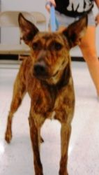 Dori is an adoptable Catahoula Leopard Dog Dog in Houston, TX. You can fill out an adoption application online on our official website. Please contact Norma ( aarf@embarqmail.com ), (713) 854-1216 for...