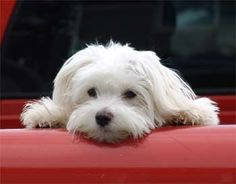 Maltese dog.  Yes please Love it looks like my Chancey <3