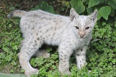 """kingdom-of-the-cats: """" White Young Eurasian Lynx (by Truus & Zoo) """" Rare Cats, Exotic Cats, Caracal, Beautiful Cats, Animals Beautiful, Cute Baby Animals, Animals And Pets, Wild Animals, Eurasian Lynx"""
