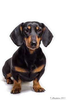 My honey Mira Dachshund Art, Dachshund Puppies, Daschund, Lab Puppies, Dachshunds, Black And Tan Dachshund, Weenie Dogs, Pet Birds, Dog Breeds