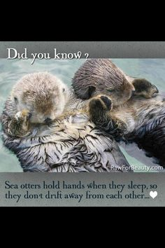 Sea Otters-  I was so a sea otter in another life! Valentines Day Memes, Funny Valentine, Rafting, Easy Animals, Easy Drawings, Otters, Cat Attack, Penguins, Cute Animals With Funny Captions