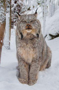 a Lynx - From Muskoka Wildlife Centre. Majestic Animals, Rare Animals, Animals And Pets, Funny Animals, Wild Animals, Strange Animals, Crazy Cats, Big Cats, Cool Cats
