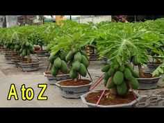छत पर पड़े गमलो में लगाया मालामाल पपीता - how to grow papaya in Pot on Terrace - YouTube Goat Farming, Veg Garden, Aloe Vera Gel, Planters, Vegetables, Youtube, Gardening, Videos, Vegetable Garden