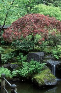 Lovely Japanese garden with a waterfall, ferns, and a Japanese maple.