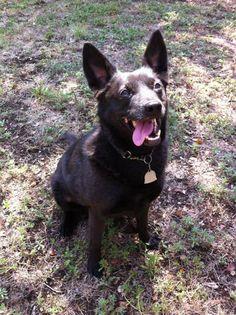 Bob Rat Terrier & Schipperke Mix • Adult • Male • Small Georgetown Animal Outreach Georgetown, TX