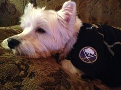 Gonna be watching for my sister on tv at the @buffalosabres game! Go #Sabres! #dogstagram #dogsofinstagram #westie #westiegram #onebuffalo