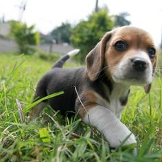 This little #beagle looks just like Heisman when we first got him. Makes me miss when he was still so tiny!!