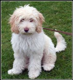 labradoodle i so would love one of these awesome dogs
