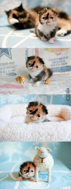 Meme, The Exotic Shorthair Kitten; Calico color... possibly the cutest baby on the internet