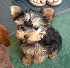 Adorable Cute Baby Yorkshire Terrier Puppy