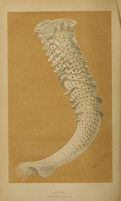Illustration of an Euplectella species of marine glass sponge, commonly called Venus's flower basket (1868).