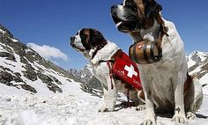 Top Ten St Bernard HD Wallpapers Free Download - Topely.com | Top Ten Things of the World.
