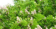 Herbs, Varicose Veins, Herb