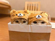 Cute Cat Memes, Funny Cute Cats, Cute Baby Cats, Cute Cats And Kittens, Cute Funny Animals, Kittens Cutest, Cute Babies, Ragdoll Kittens, Tabby Cats
