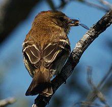 MOSQUETA ESTRIADA Myiophobus fasciatus.jpg