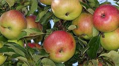 All About Growing Apples
