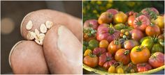 6 Reasons You Should Grow Heirloom Seeds & 6 Best Places To Buy Them