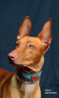 Best Images and Ideas about Pharaoh Hound, The Oldest Dog Breed Hound Puppies, Dogs And Puppies, Doggies, Saarloos, Ibizan Hound, Dog Day Afternoon, Pharaoh Hound, Purebred Dogs, Grey Hound Dog