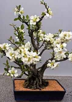 Japanese Flowering Bonsai ~ flowering quince
