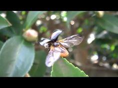 フタホシテントウムシ3 天道虫飛びます。 - YouTube