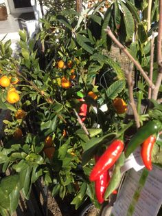 "Our ""Sweeties"" (small sweet tangerine type oranges_ and red hot peppers are still going strong!"