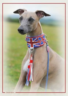 the jenson button collar made from swarovski crystals custom made for Jenson the whippet Beaded Dog Collar, Collar And Leash, Dog Collars & Leashes, Dog Show, Whippet, Custom Made, Swarovski Crystals, My Design, Button