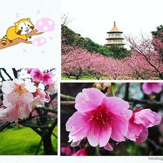 【stage_grace】さんのInstagramをピンしています。 《#賞櫻花 🌸 要是明天來應該能開的更美吧  其實我對於看花真的沒什麼興趣 拍幾張照就乏了🙄  最近太常往北跑了 來一首#listening #🎧 ➡ #周杰倫 #一路向北  #櫻花 #櫻花季 #限定 #🌸 #風景 #景色 #夢幻 #浪漫 #氣氛 #療癒  #Cherryblossoms #taiwan #view #love #follow #instagood #photooftheday #淡水 #天元宮》