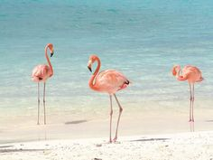 Flamingos - they're not eating enough shrimp. (That's what makes them pink.)