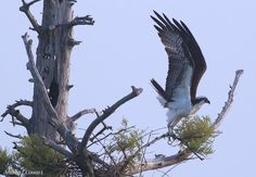 Pre-Lift Off by Andrea Cowart on Capture Memphis // This is one of 2 young osprey that were perched atop this cypress this morning