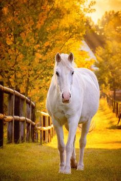 White horse on golden path.