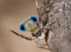 Courtship display of a male spider in an undescribed species of Maratus.