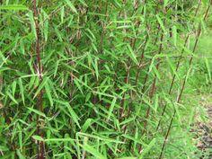Fargesia, Bamboo Screening, Google Images, Succulents, Herbs, Garden, Plants, Garten, Lawn And Garden