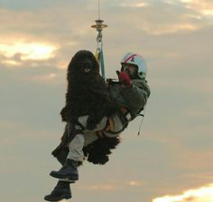 Newfoundland Dog Being Lowered Into The Ocean To Save A Human<3
