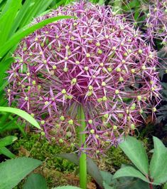 A spectacular bulb with tall flower stems bearing large spherical heads of lilac, silver tinged flowers after the leaves. Tall Flowers, Blue Flowers, Garden Bulbs, Garden Plants, Crocosmia, Backyard Plan, Sun Loving Plants, Gladiolus, Allium